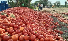 Nasik_farmers_dump_tomatoes
